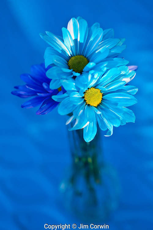 Blue daisies in vase outdoors with sunset light