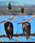 Bald Eagle, Close Portraits and Flight Study, Bosque del Apache Wildlife Refuge, New Mexico