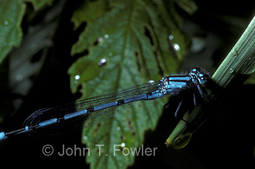Damselfly close-up