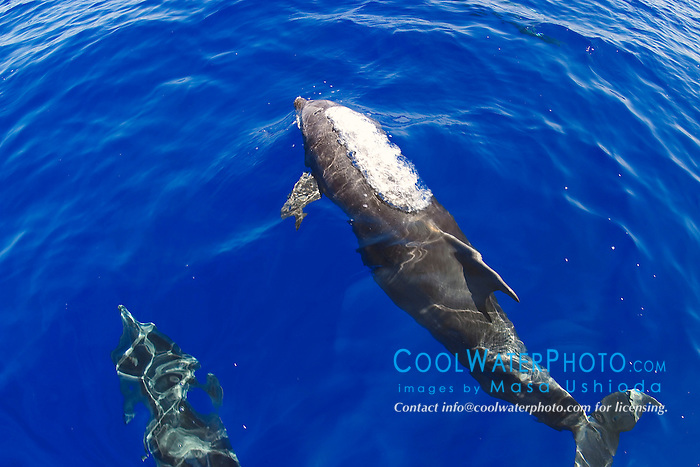 wild bottlenose dolphins, bow-riding, Tursiops truncatus, Big Island, Hawaii, Pacific Ocean