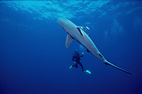 scuba diver observes a sandbar shark, Carcharhinus plumbeus, caught on long line fishing gear, Ashkelon, Israel, Mediterranean Sea, Atlantic