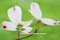 63808-03019 Flowering Dogwood (Cornus florida) blooms, Marion Co, IL