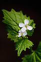 Garlic mustard (Alliaria petiolata) in flower, end April.