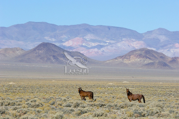 Wild Horses in Nevada desert country.  Fall.