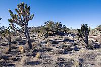 Joshua tree (Yucca brevifolia) in the Mojave Desert, California.