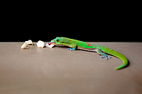 Madagascar Gold Dust Day Gecko eating fruit on Oahu, Hawaii