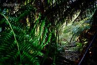 Image Ref: YR177<br /> Location: Wirrawilla Rainforest, Toolangi<br /> Date: 27.01.18