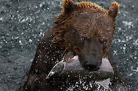 Brown bear charges out of the water with a fresh catch of salmon at Kurilskoe Lake Preserve.