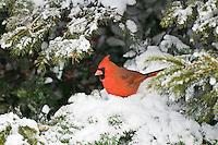 Male Northern Cardinal (Cardinalis cardinalis) in winter. Nova Scotia, Canada.