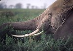 african elephant feeding at Amboseli National Park