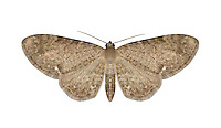70.181 (1821)<br /> Valerian Pug - Eupithecia valerianata