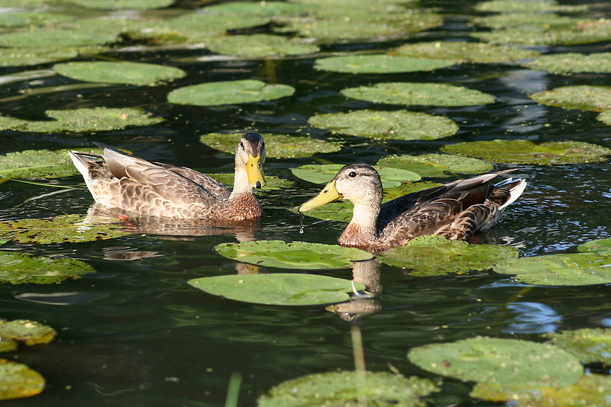 Two ducks floating in pond with lily pads