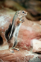 RODENTS<br /> Harris ground squirrel<br /> Ammospermophilius harrisii