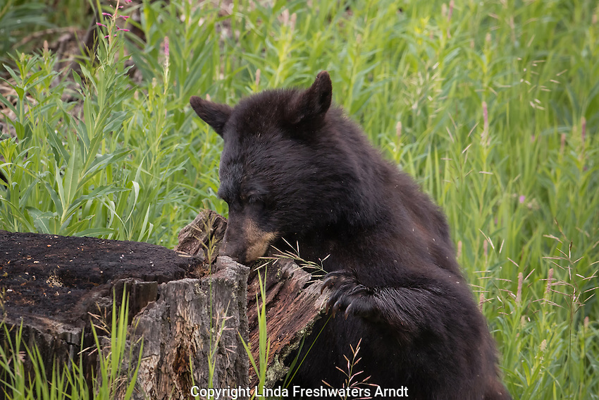 Black bear in Yellowstone National Park