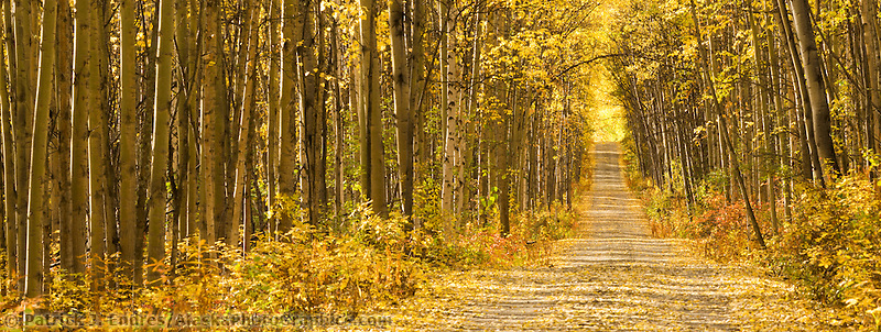 Birch and Aspen trees line a gravel driveway in Fairbanks, Alaska