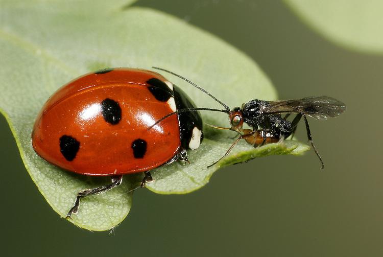 7 Spot Ladybird Coccinella septempunctata attacked by Perlitus coccinelliae