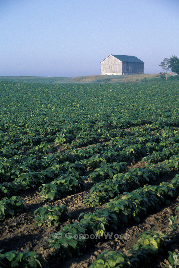 Soybean Crop and Barn in Southwestern Ontario Field