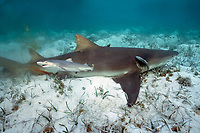 newborn lemon shark, Negaprion brevirostris, swimming away from its mother; sharksuckers, Naucrates ductor, cling to mother, Bimini, Bahamas, Caribbean Sea, Atlantic Ocean