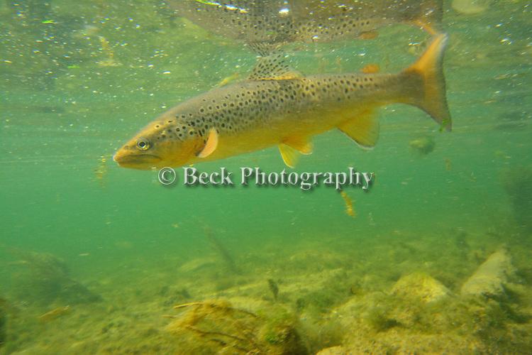 Bighorn Underwater brown trout