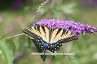 03023-02917 Eastern Tiger Swallowtail Butterfly (Papilio glaucus) on Butterfly Bush (Buddleia davidii), Marion Co., IL