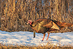 Tom turkey walking in the snow in northern Wisconsin.