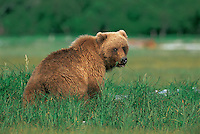 Brown bear grazing in the meadow on the protein filled sedge grass in the spring. Alaska Peninsula