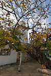 Judea, White Mulberry tree (Morus Alba) at the Mosque's forecourt in Amoriya