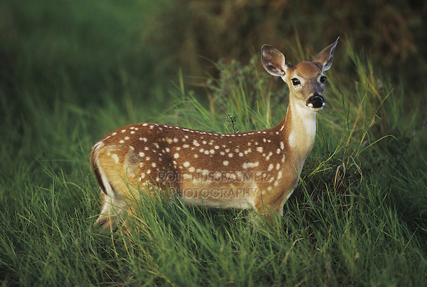 White-tailed Deer (Odocoileus virginianus), fawn in tall grass, Starr County, Rio Grande Valley, Texas, USA