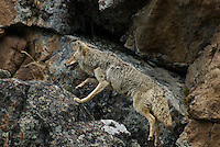 Wild Coyote (Canis latrans) jumping up on rocky path up cliff face.  Western U.S., June.