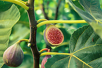 Ficus carica 'Celeste' or 'Sugar Fig'(USDA name) -Fig sliced open on tree