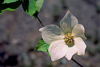 Flower of Pacific Dogwood Tree (Cornus nuttallii aka Benthamidia nuttallii) blooming, BC, British Columbia, Canada - Floral Emblem / Provincial Flower of British Columbia