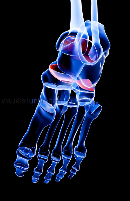 An inferior view of the bones of the right foot. Royalty Free