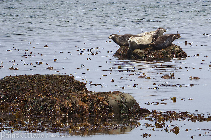A group of common seals resting on a rock in Bic national park (Parc national du Bic) near Rimouski, Québec.