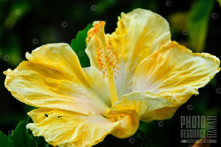 A close-up of a yellow hibiscus on Kaua'i.