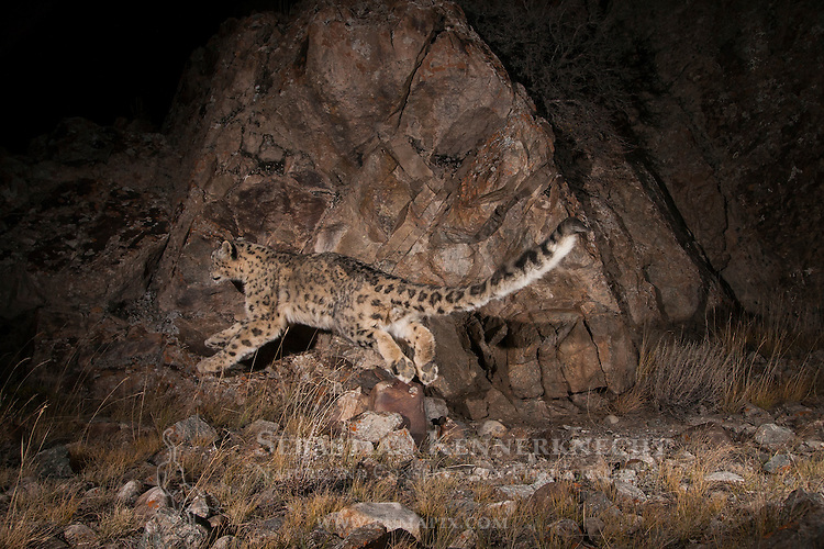 Snow Leopard (Panthera uncia) sub-adult leaping, Sarychat-Ertash Strict Nature Reserve, Tien Shan Mountains, eastern Kyrgyzstan