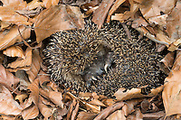 Europäischer Igel, Winterschlaf, Überwinterung, überwintert in Laubstreu, Laubhaufen, Westigel, Braunbrustigel, West-Igel, Braunbrust-Igel, Erinaceus europaeus, western hedgehog, European hedgehog, hibernation, overwinter survival, Le hérisson commun, hérisson européen, hérisson d'Europe, hérisson d'Europe occidentale, hérisson d'Europe de l'Ouest