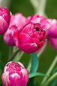 Tulip 'Paradise Island' (Double Late Group), mid May.