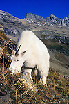 Mountain Goat on a steep hillside on the continental divide in Glacier National Park in Montana