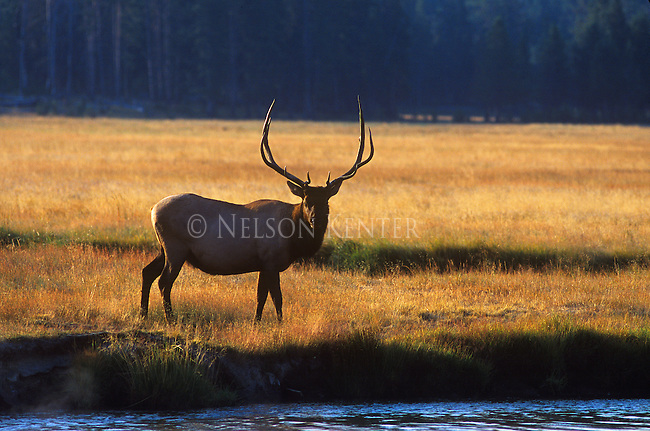 Bull elk at a stream in a meadow at sunrise