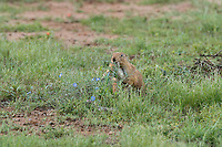 673010020 a wild black-tailed prairie dog cynomis ludovicianus in a small prairie dog town on empire ceienega natural conservation area pima county arizona