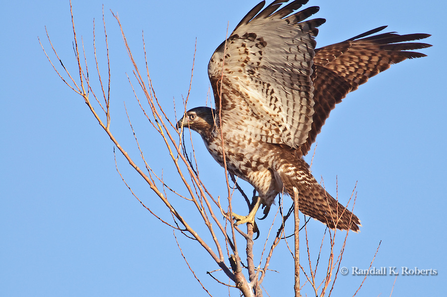 A Red-tailed hawk (Buteo jamaicensis) watches for dinner at the Bosque del Apache National Wildlife Refuge, near Socorro, New Mexico.