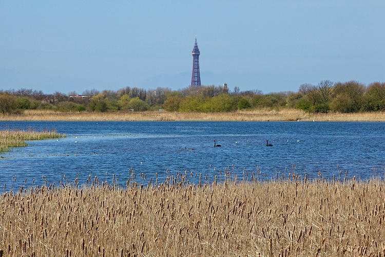 Marton Mere on a warm bright Spring day in April. Two balck swans visit. Black Swans are not native to the UK. Originally they are thought to come from Australia. These two are successfully living wild. No-one is sure of thier actual orgins.