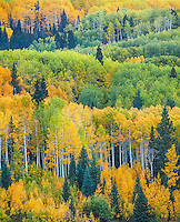 Gunnison National Forest, West Elk Mountains, CO: Aspen hillside in early fall