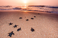 Kemp's ridley sea turtle hatchlings, Lepidochelys kempii ( endangered ), released to ocean after hatching in protected corral, Rancho Nuevo, Mexico, Gulf of Mexico, Atlantic Ocean