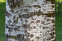 Silber-Pappel, Silberpappel, Weiß-Pappel, Weisspappel, Pappel, Rinde, Borke, Stamm, Baumstamm, Populus alba, White Poplar, abele, silver poplar, silverleaf poplar, Le Peuplier blanc, Abèle, Peuplier à feuille d'érable, Peuplier argenté, Blanc de Hollande, Aube, Ypréau, Piboule, bark, rind, trunk, stem