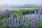 Lupines bloom in Sugar Hill, NH, USA