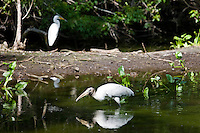Typical Everglades scene egret and endangered species wood stork in glade, Florida, USA