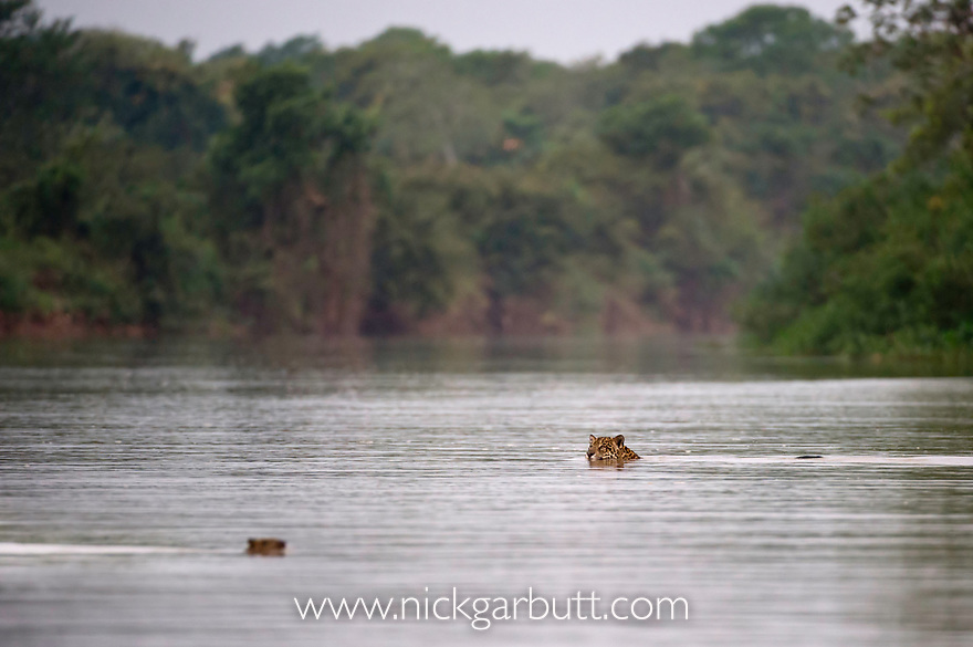Wild female Jaguar (Panthera onca palustris) swimming across a channel of the Piquiri River (a tributary of Cuiaba River), while watching a startled Capybara (Hydrochaeris hydrochaeris) swimming the opposite way. Northern Pantanal, Brazil. September