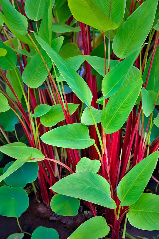 Lizard plant. Kauai, Hawaii