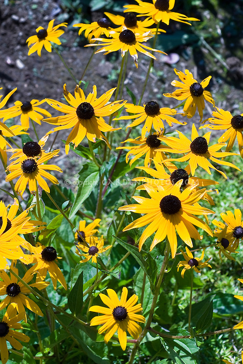 Rudbeckia fulgida var. sullivantii 'Goldsturm'. This is a piece of original plant. Black-eyed Susan iconic classic cultivar